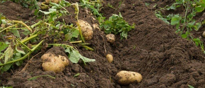 potatoes covered in soil